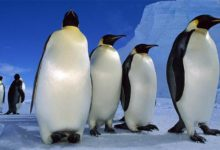 Photo of Pingwin cesarski – największy pingwin świata