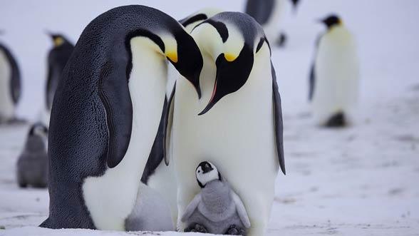 Pingwin cesarski (Aptenodytes forsteri).