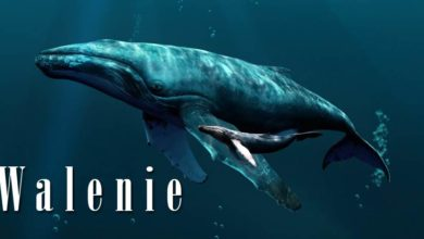 Photo of Walenie (Cetacea)