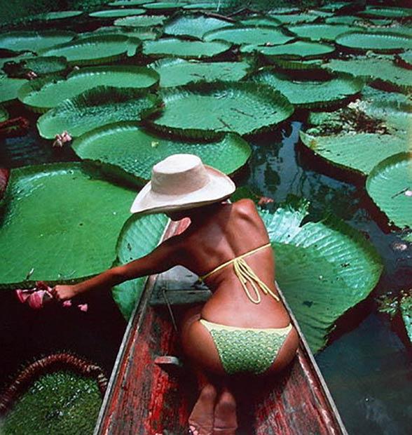 Wiktoria królewska, amazońska (Victoria amazonica).