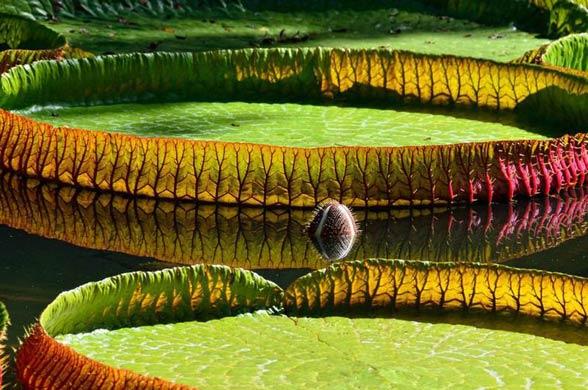 Wiktoria królewska, amazońska (Victoria amazonica)