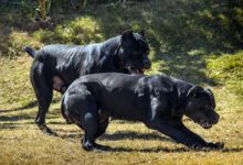 Photo of Cane corso – Italian mastif