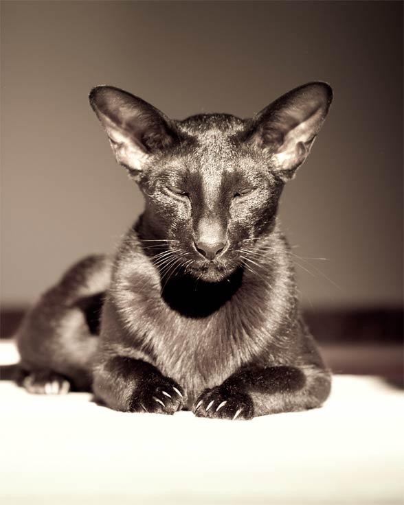 Kot orientalny