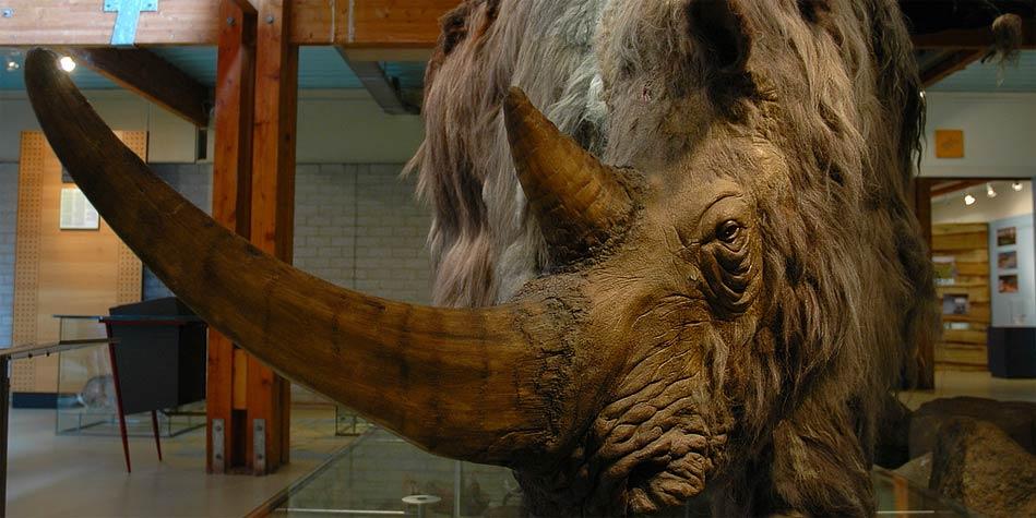 Nosorożec włochaty - eksponat w muzeum.