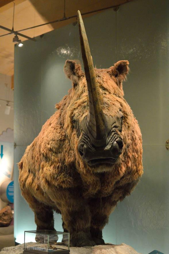 Nosorożec włochaty (Coelodonta antiquitatis)