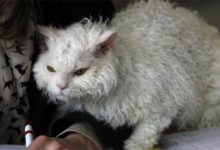 Photo of Kot selkirk rex