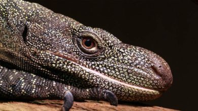 Photo of Waran papuaski, krokodylowy (Varanus salvadorii)