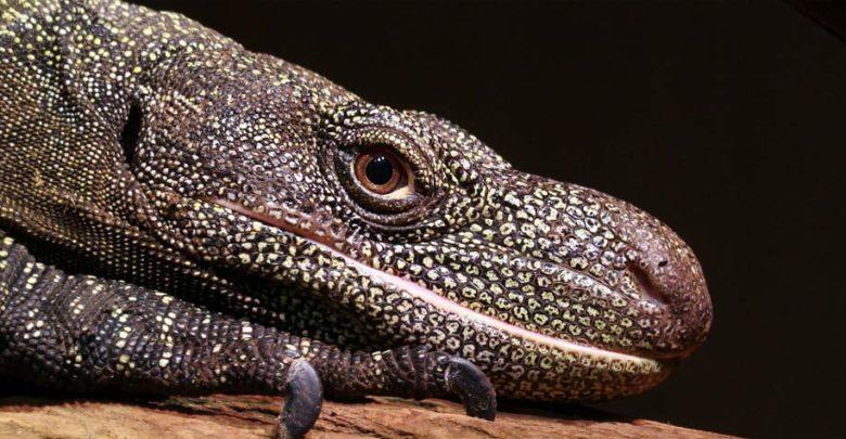 Photo of Waran papuaski, krokodylowy (Varanus salvadorii)