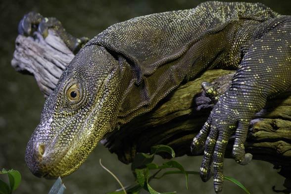 Waran papuaski, waran krokodylowy (Varanus salvadorii)