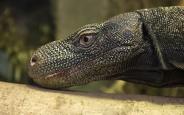Waran papuaski, waran krokodylowy (Varanus salvadorii).