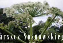 """Photo of Barszcz Sosnowskiego czyli """"zemsta Stalina"""""""