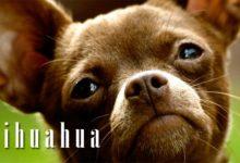 Photo of Chihuahua – najmniejsza rasa psa