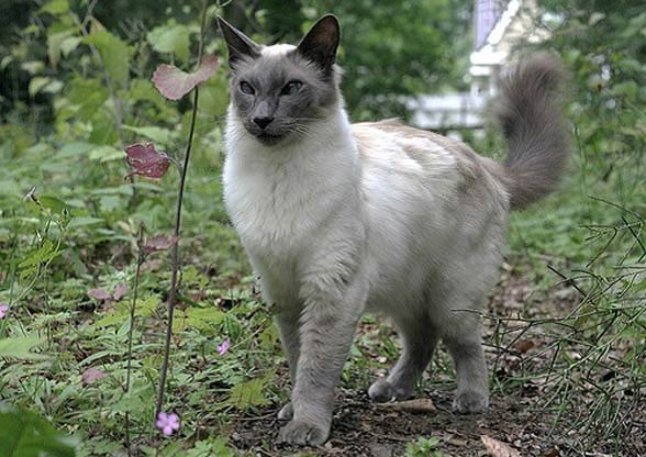 Kot jawajski (Mandaryn)