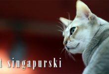 Photo of Kot singapurski – najmniejsza rasa kota