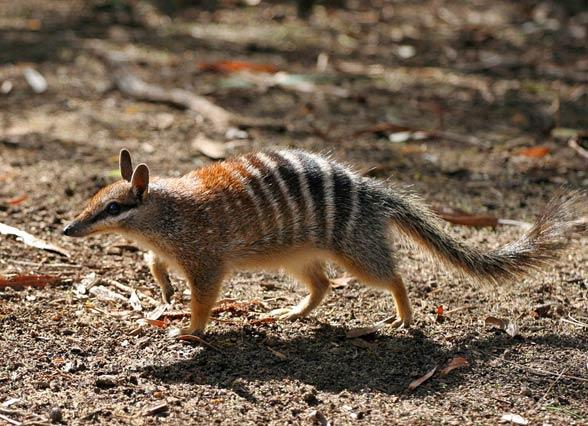 Mrówkożer workowaty (Myrmecobius fasciatus).
