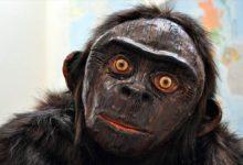 Photo of Orang Pendek czyli niski człowiek