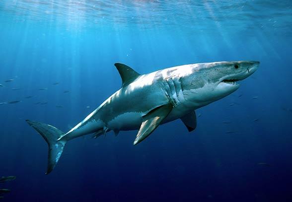 Rekiny - mity, fakty, charakterystyka | DinoAnimals pl - Part 2