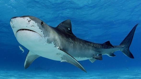 Żarłacz tygrysi, rekin tygrysi (Galeocerdo cuvier)