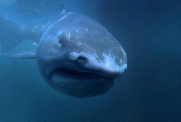 Rekin wielkogębowy (Megachasma pelagios).