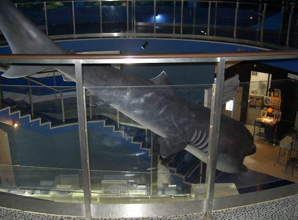 Rekin wielkogębowy (Megachasma pelagios)