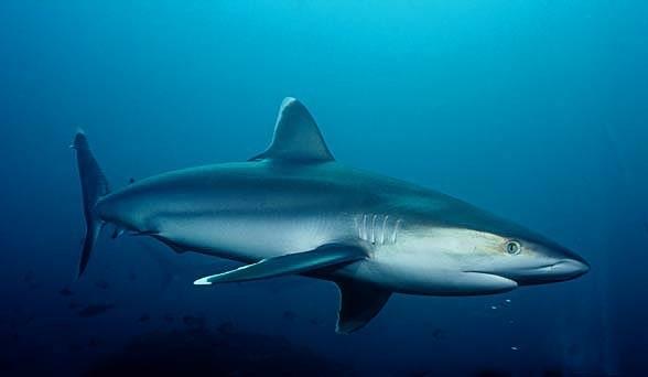 Żarłacz srebrnopłetwy, żarłacz białobrzegi, żarłacz białobrzeżny (Carcharhinus albimarginatus)