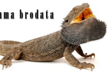 Photo of Agama brodata, brodatogama brodata (Pogona barbata)