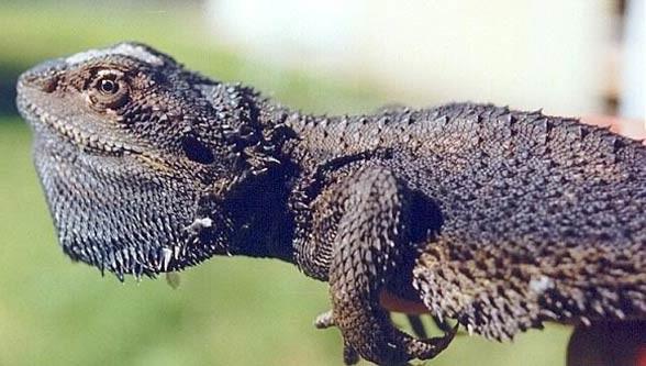 Brodatogama brodata, agama brodata (Pogona barbata).