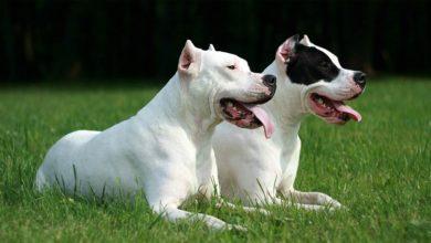 Photo of Dog argentyński