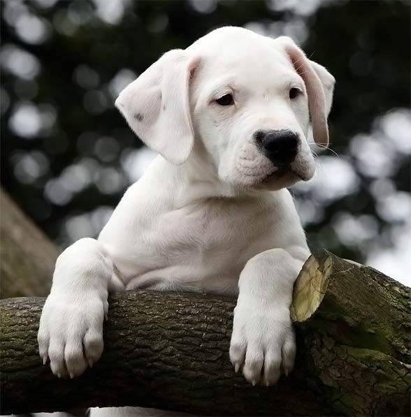 Dog argentyński