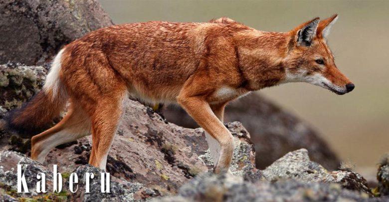 Photo of Kaberu etiopski (Canis simensis)