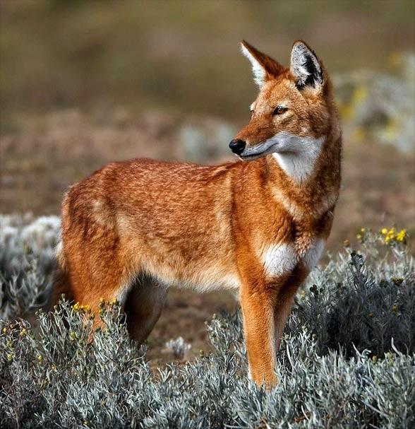 Kaberu etiopski (Canis simensis)