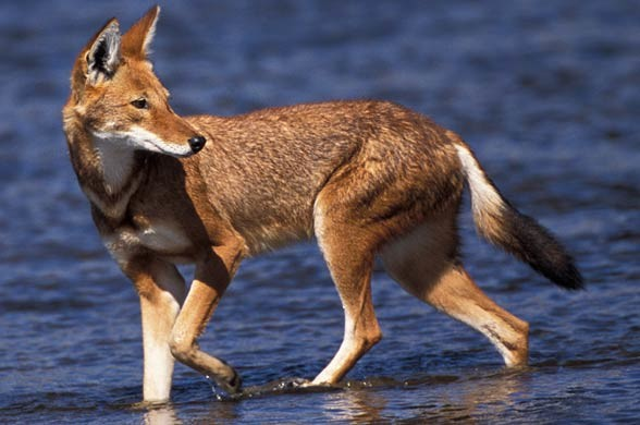 Kaberu etiopski (Canis simensis).