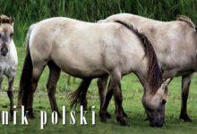 Photo of Konik polski, konik biłgorajski
