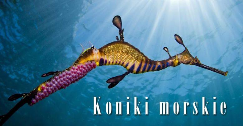 Photo of Koniki morskie, pławikoniki