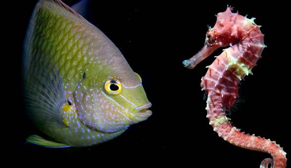 Konik morski, pławikonik