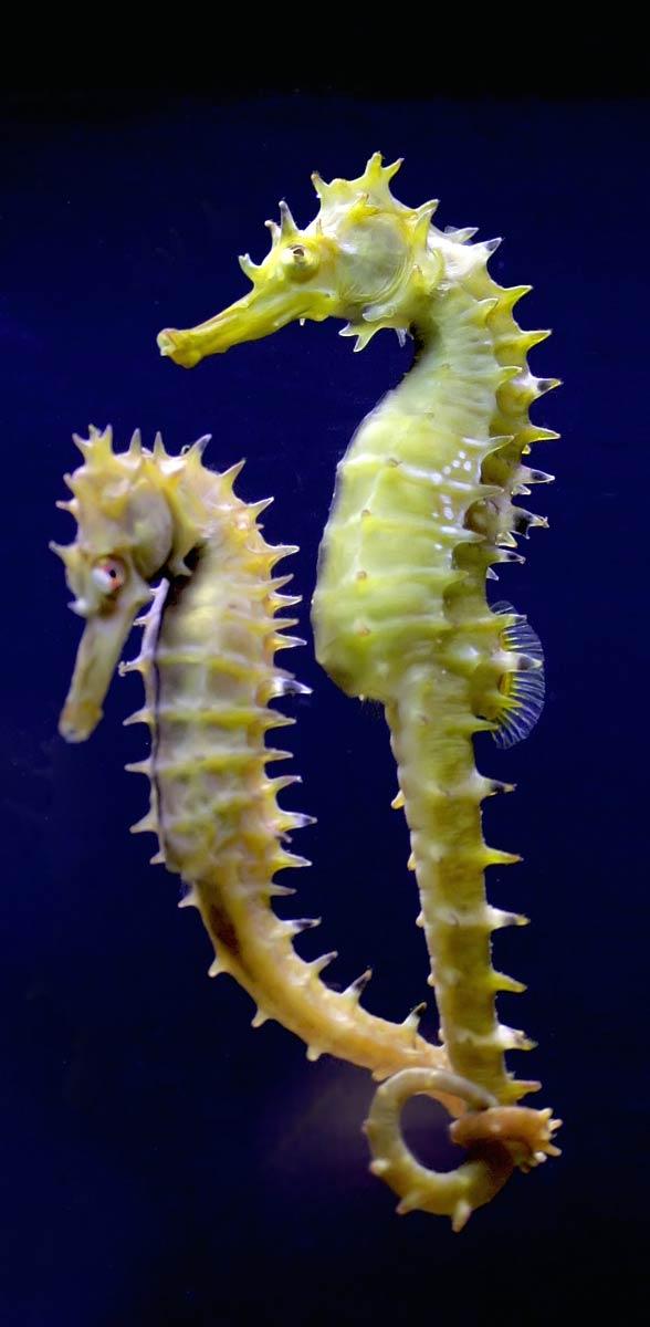 Koniki morskie, pławikoniki