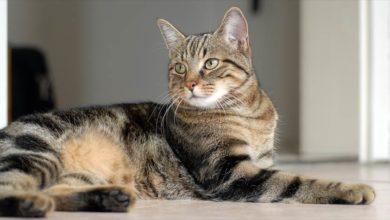 Photo of Kot europejski krótkowłosy