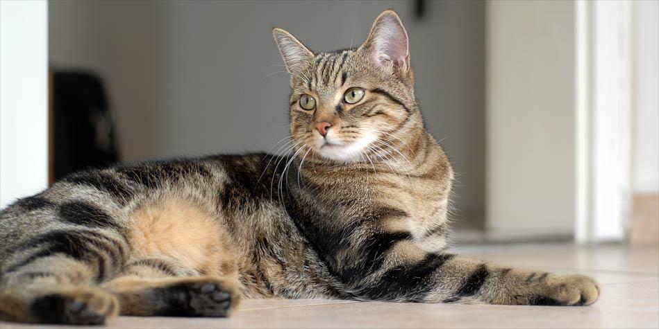 Wszystkie nowe Kot europejski krótkowłosy | DinoAnimals.pl QG12