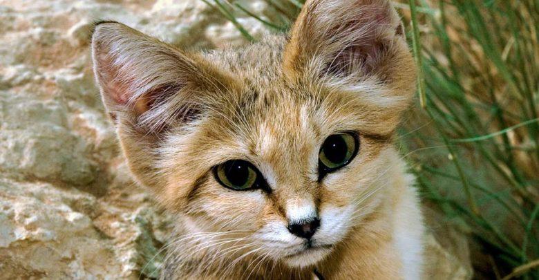 Photo of Kot pustynny, kot arabski