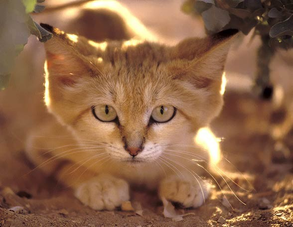 Kot pustynny, kot arabski (Felis margarita)