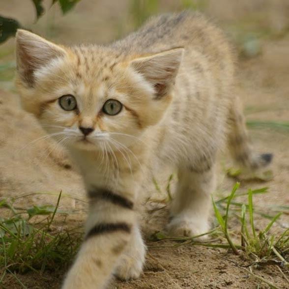 Kot pustynny, kot arabski (Felis margarita).