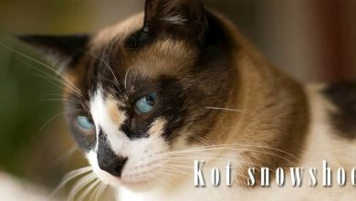 Photo of Kot snowshoe – Grumpy Cat?