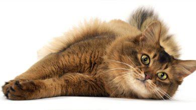 Photo of Kot somalijski – abisyński kot długowłosy