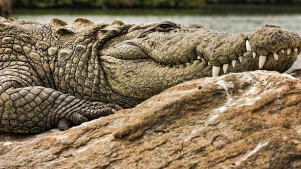 Krokodyl błotny (Crocodylus palustris)