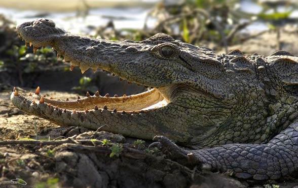 Krokodyl błotny (Crocodylus palustris).
