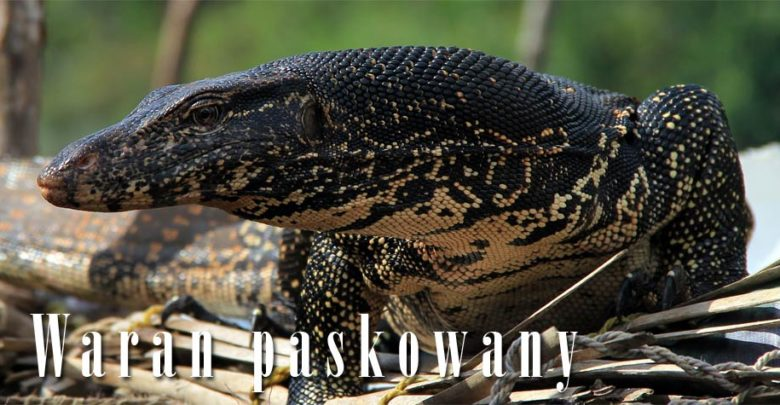 Photo of Waran paskowany, leśny (Varanus salvator)