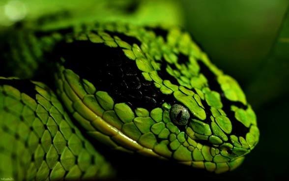Węże (Serpentes).