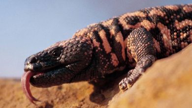 Photo of Heloderma arizońska (Heloderma suspectum)