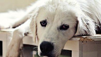 Photo of Akbaş, akbasz, akbash dog