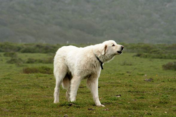 Akbaş, akbasz, akbash dog